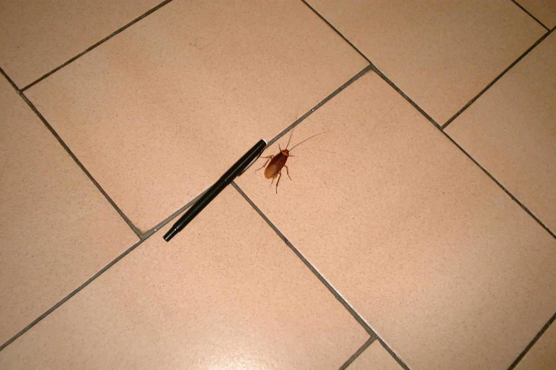 Insect seen on floor (Casablanca, Morocco 23-05-2004) (purpose of page is to display an image)
