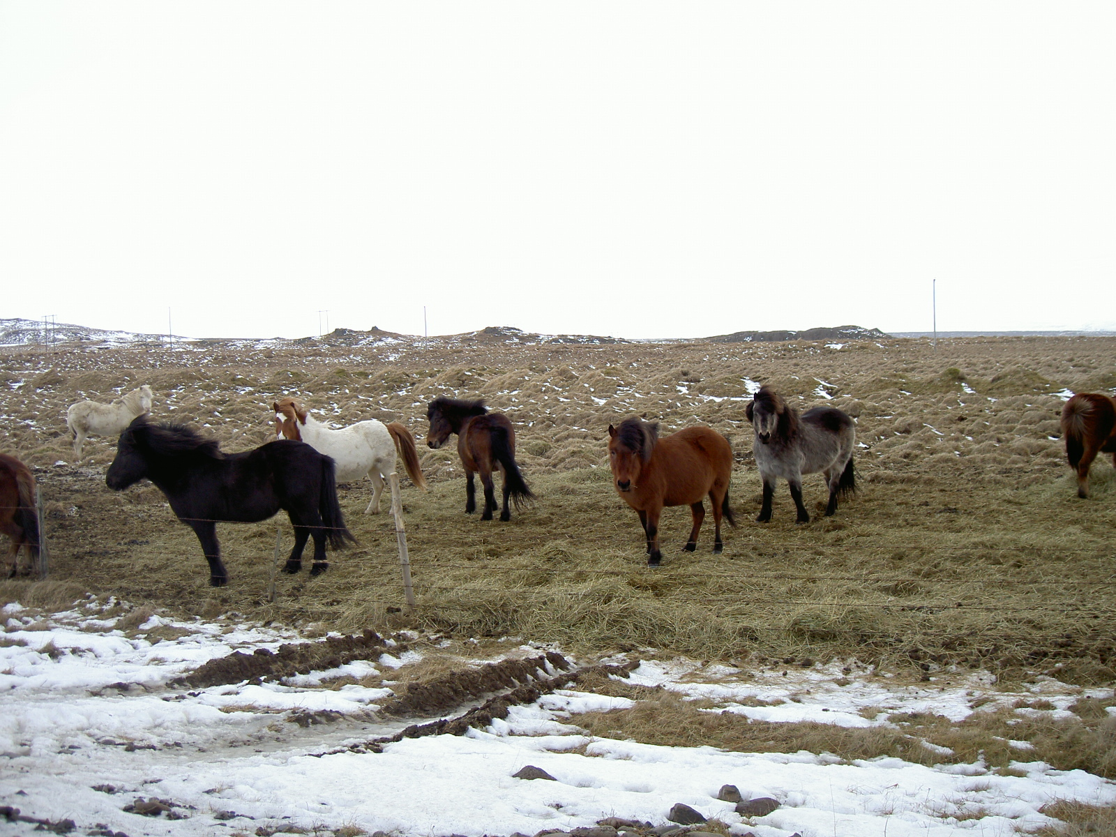 Icelandic horses (purpose of page is to display an image)