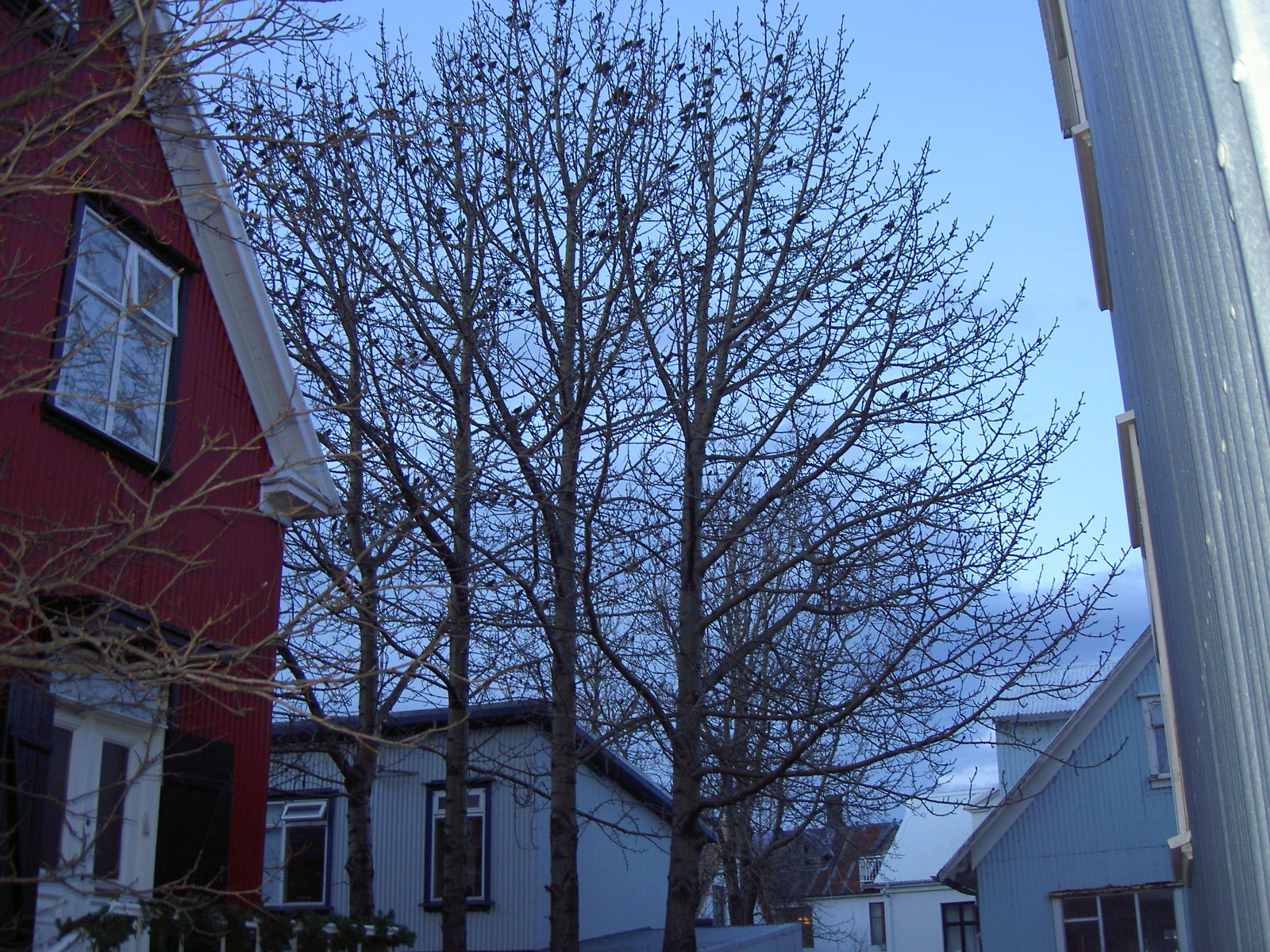 Many birds sitting on a tree in Reykjavik (purpose of page is to display an image)
